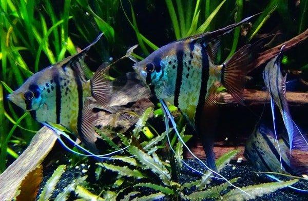 Чем хороши в аквариуме