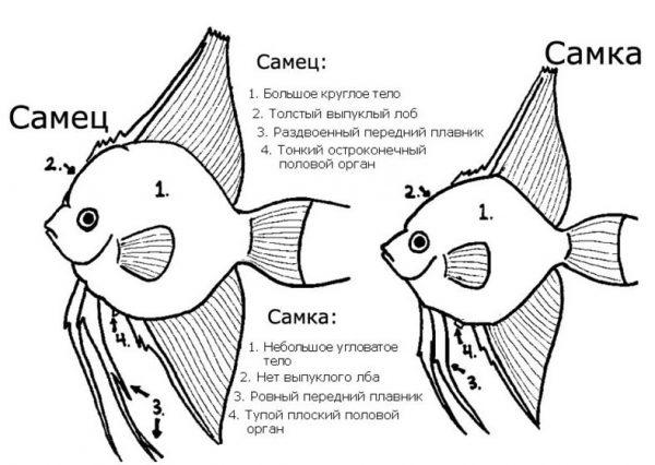 Половые различия скалярий.