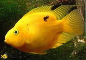 Попугай рыба болнзни