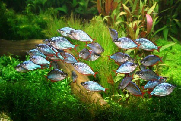 Рыбки радужницы:содержание,размножение,виды