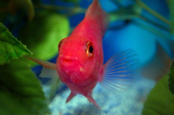 Рыбка красная попугайчик