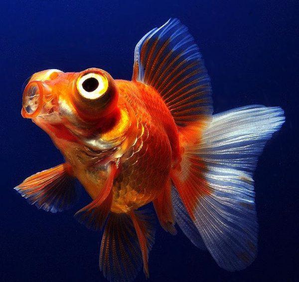 Рыбка телескоп болезни