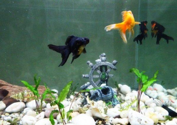 Содержание в аквариуме