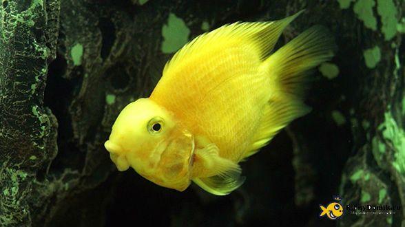 попугайчик желтый