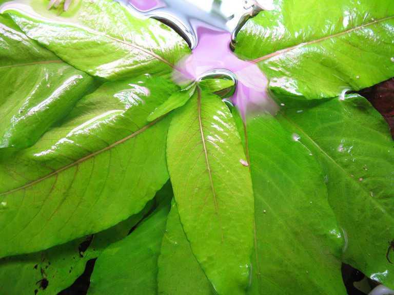 Аквариумные растения неприхотливые