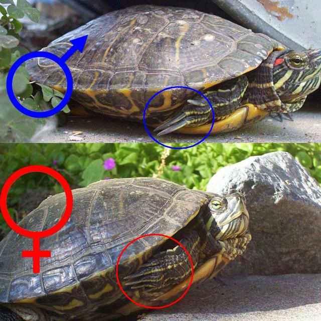 Как определить пол черепахи красноухой