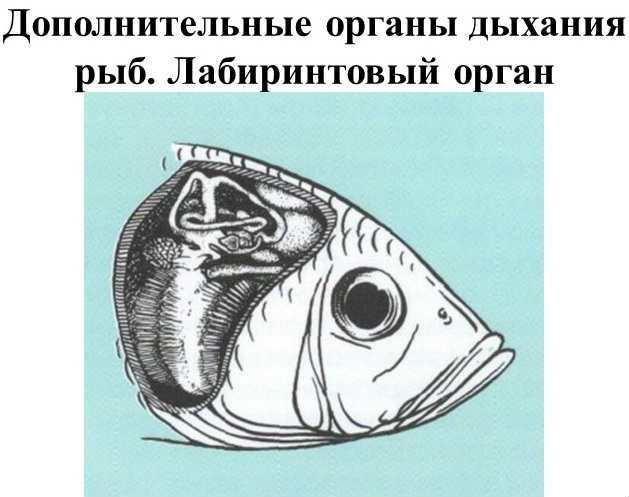 Лабиринтовый орган дыхания рыб