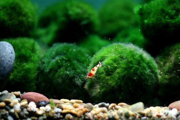 Рыбка и кладофора
