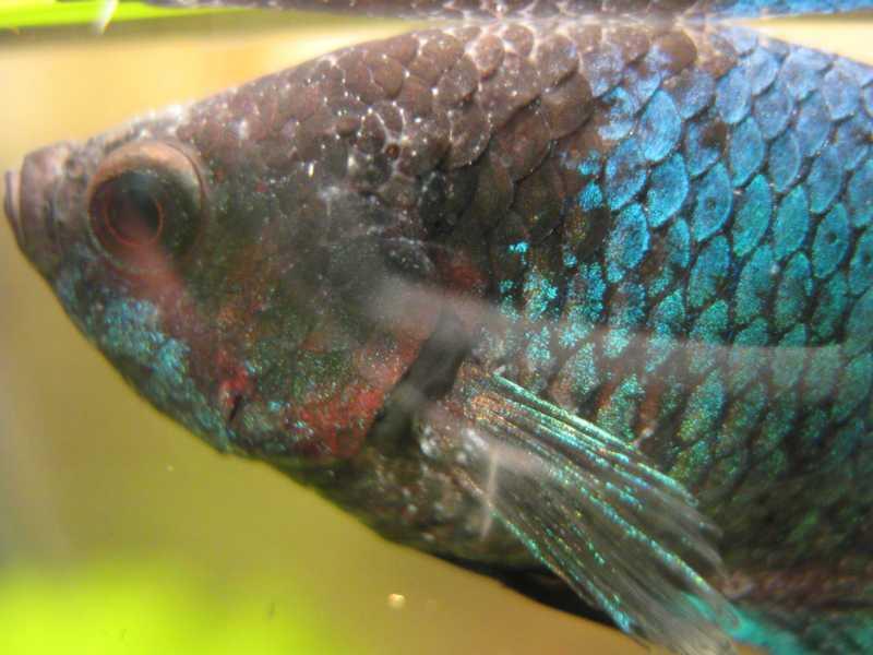 Рыбка петушок лечение болезни
