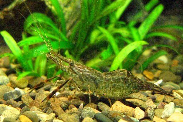 Семейство Macrobrachium креветка