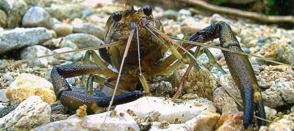 Семейство Palaemonidae