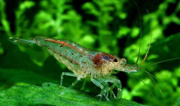 Семейство креветка Neocaridina