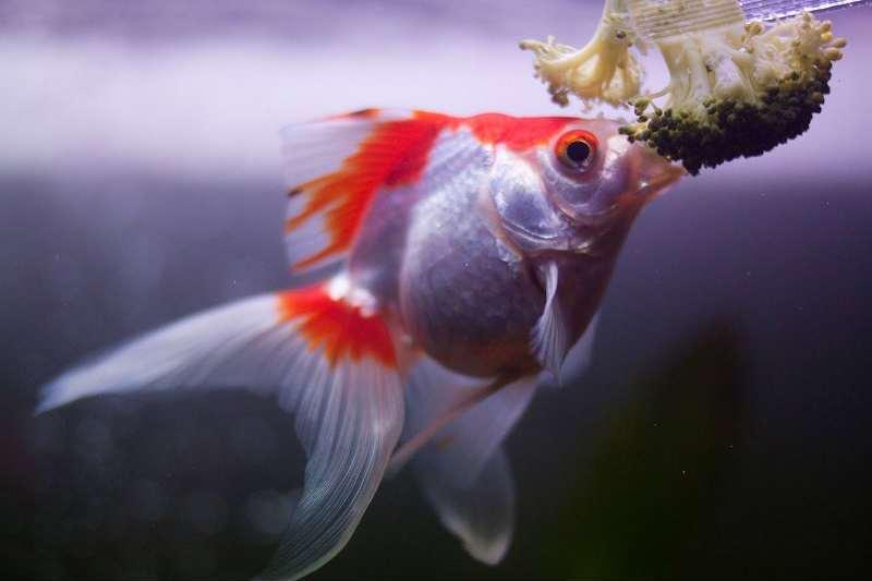 как кормить петушка рыбку