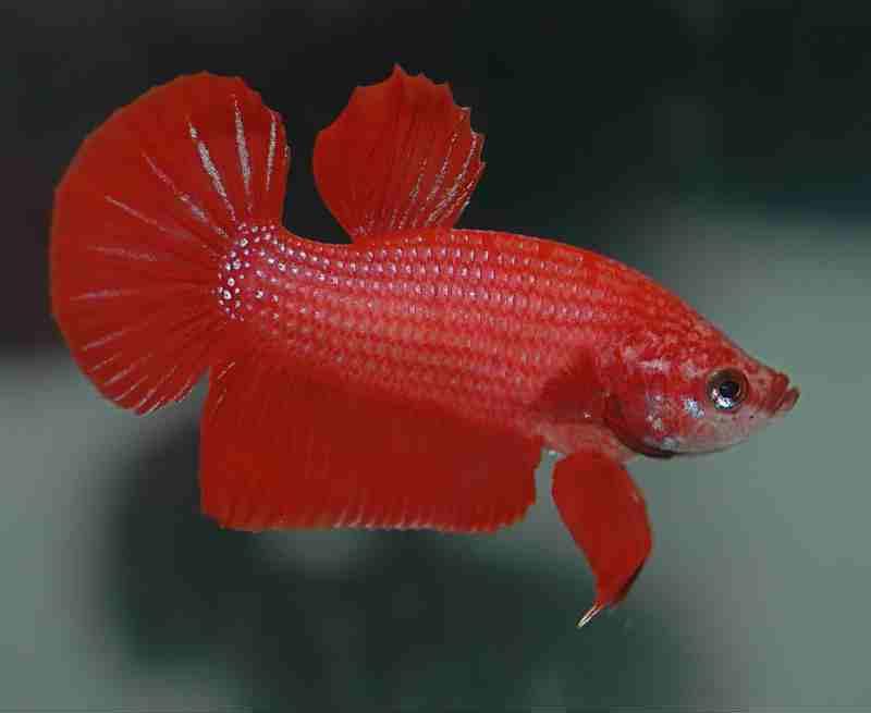 рыбка петушок размножение