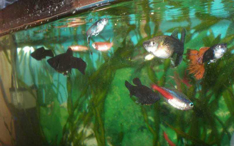 рыбка петушок совместимость с другими рыбками