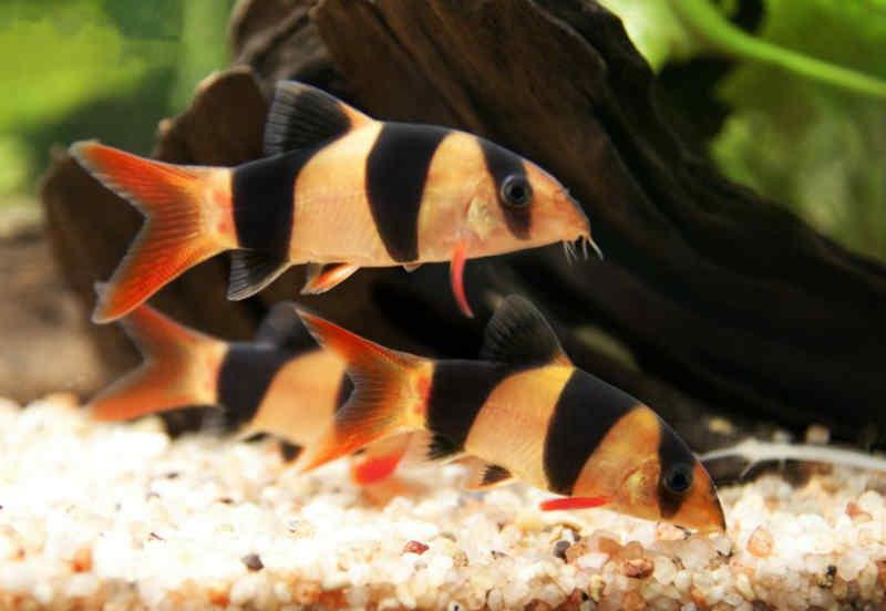Аквариумные рыбки клоуны