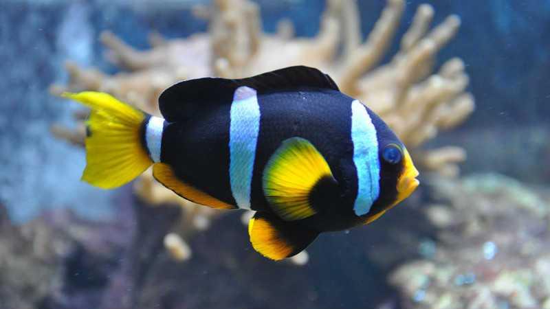 Рыба Клоун черный