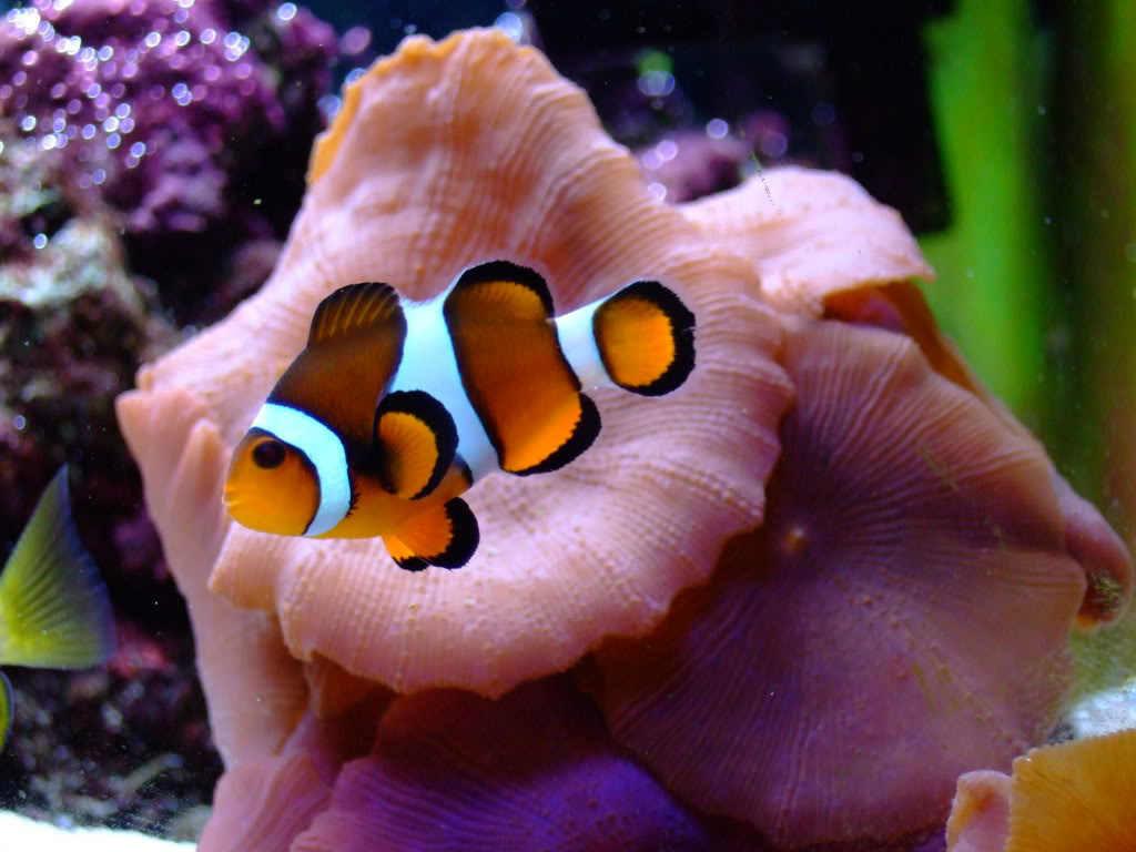 Рыба Клоун в морском аквариуме