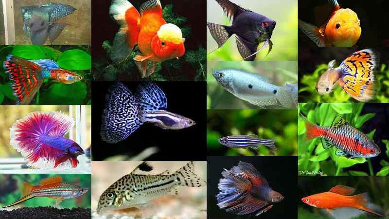Рыбки аквариумные рыбки неприхотливые