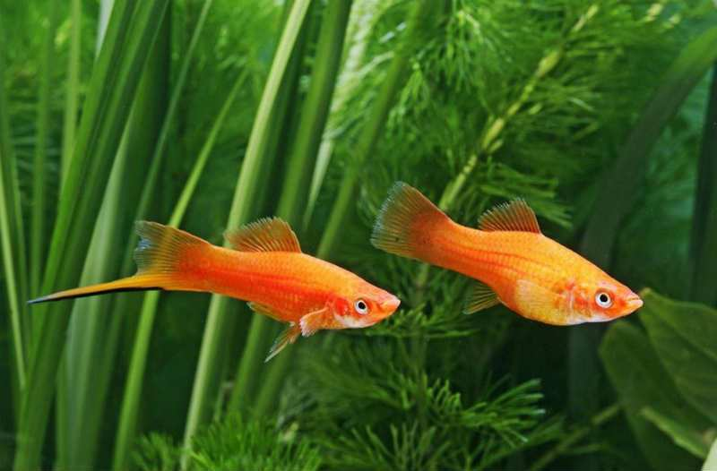 Рыбки красавцы меченосцы