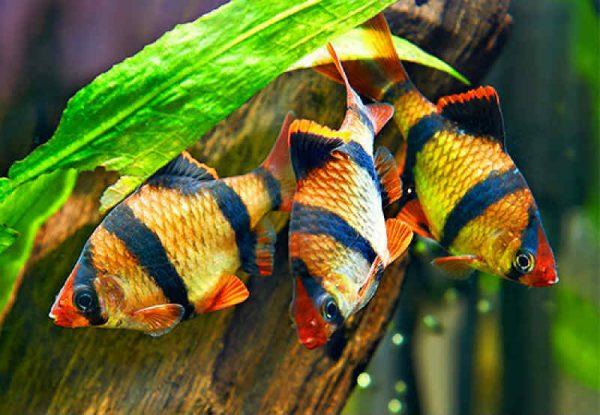 Самые неприхотливые аквариумные рыбки Барбус суматранский
