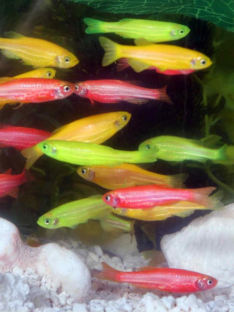 Самые неприхотливые аквариумные рыбки Данио рерио