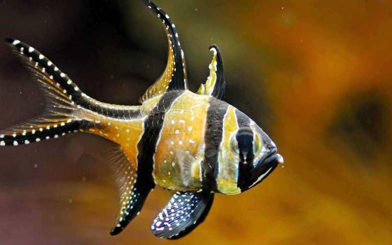 Самые неприхотливые аквариумные рыбки Кардинал
