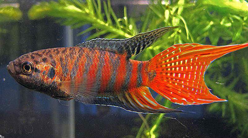Самые неприхотливые аквариумные рыбки Макропод (райская рыбка)
