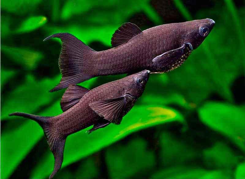 Самые неприхотливые аквариумные рыбки Моллиенезии