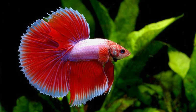 Самые неприхотливые аквариумные рыбки Петушок (сиамская бойцовая рыбка)