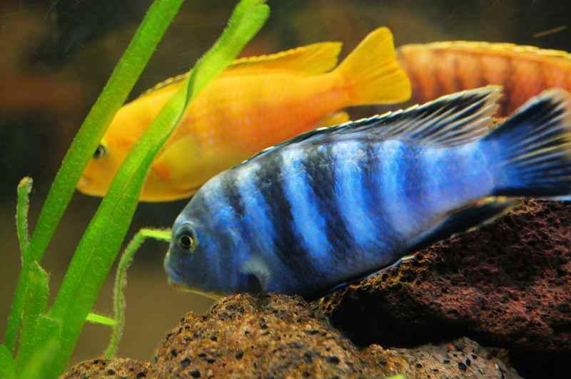 Самые неприхотливые аквариумные рыбки Цихлиды