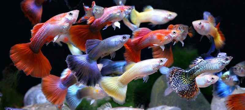 Самые неприхотливые аквариумные рыбки гуппи