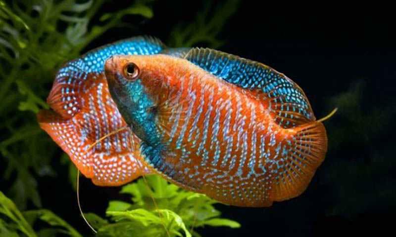 Самые неприхотливые аквариумные рыбки лялиусы