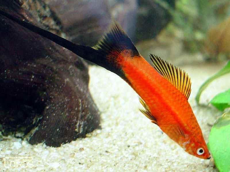 Самые неприхотливые аквариумные рыбки меченосцы