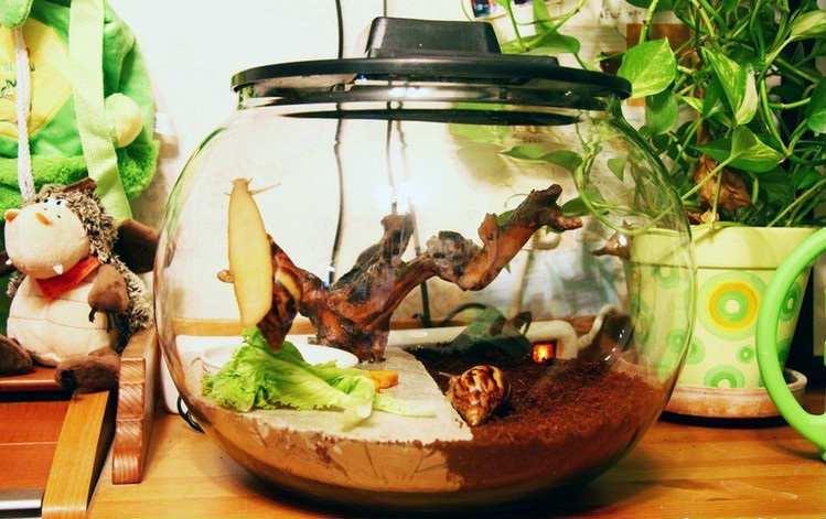 Сколько живут улитки ахатины в аквариуме
