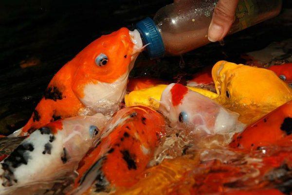 Аквариумные рыбки содержание