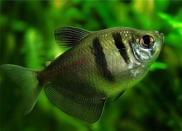 Содержание аквариумной рыбки тернеции и уход за ней
