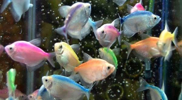 Рыбка терднеция