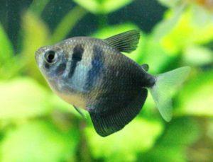 Рыбка терднеция обыкновенная