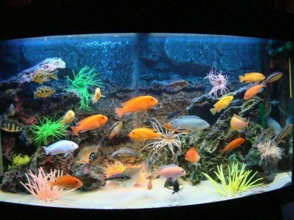 Цихлиды размножение в аквариуме