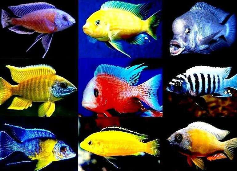 Цихлиды аквариумные