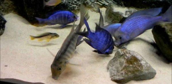 Цихлиды аквариумные кормление
