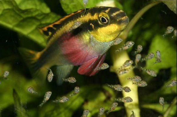 Цихлиды аквариумные размножение
