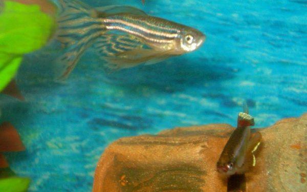 Аквариумные рыбки данио размножение