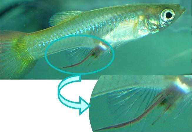Нематоды белые червячки в аквариуме