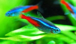 Неон обыкновенный или голубой