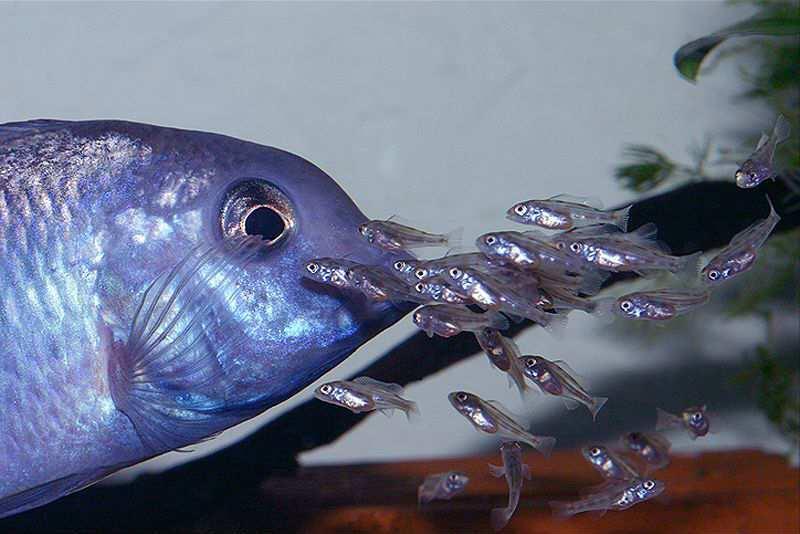 аквариумная рыбка голубой дельфин разведение