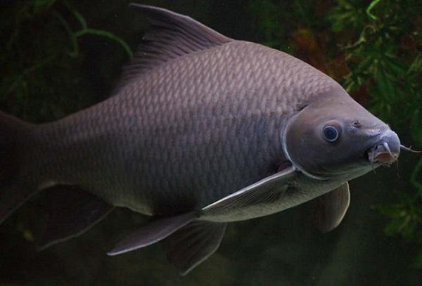 Аквариумная рыбка лабео черный
