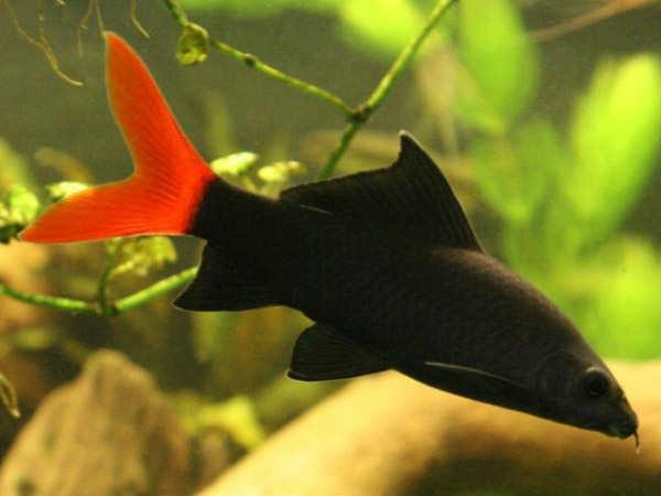 Аквариумная рыбка лабео двуцветный