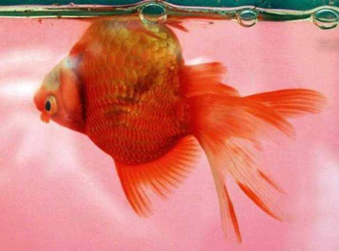 Болезни золотых рыбок